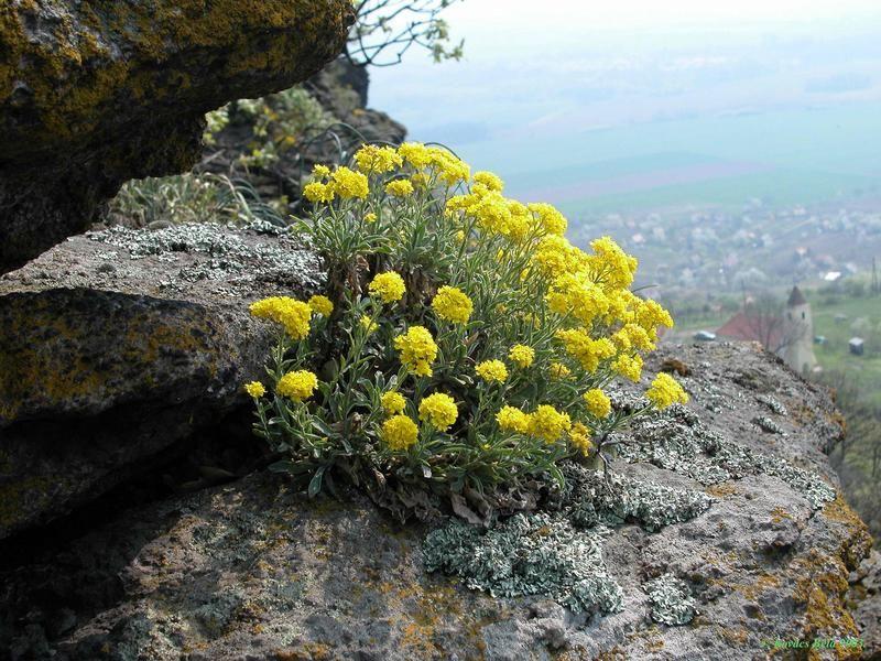 Hegyi ternye (Alyssum montanum) Fotó: Kovács Béla